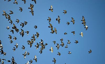 Pigeons by Sanjeev Sethi