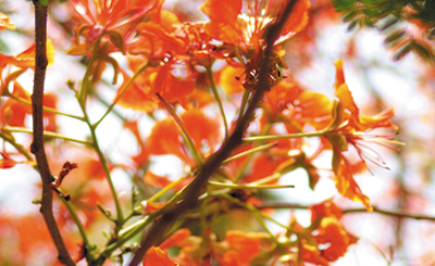 The Big Gulmohar