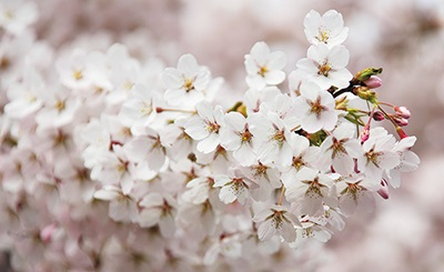 Blossoms and other poems